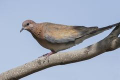 La paloma de risa se encaramó en una rama de árbol fotos de archivo libres de regalías
