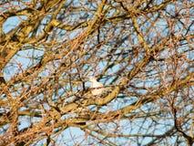 la paloma de la paloma se sentó en cielo desnudo del otoño de las ramas de los árboles Fotos de archivo libres de regalías
