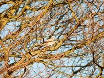 la paloma de la paloma se sentó en cielo desnudo del otoño de las ramas de los árboles Imágenes de archivo libres de regalías