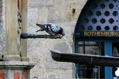 La paloma de Tauber- del der del ob de Rothenburg bebe el agua de una fuente Imagen de archivo libre de regalías