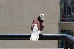 La paloma en el balcón Imagen de archivo