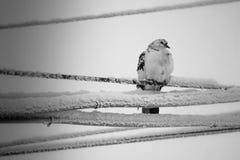 La paloma en los alambres, Murmansk Fotografía de archivo libre de regalías