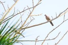 La paloma está colgando en una rama Imagen de archivo