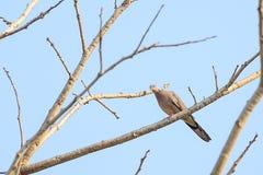 La paloma está colgando en una rama Fotos de archivo libres de regalías
