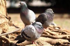 La paloma está durmiendo en el parque Fotos de archivo libres de regalías