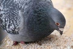 La paloma gris se sienta en la ventana Imágenes de archivo libres de regalías