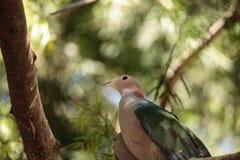 La paloma imperial verde llamó el aenea de Ducula Imagenes de archivo