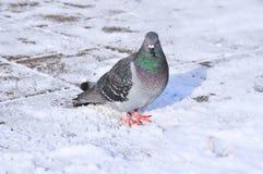 La paloma nos está mirando Foto de archivo libre de regalías