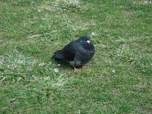 La paloma oscura Fotografía de archivo libre de regalías