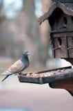 La paloma picotea nueces Imagenes de archivo