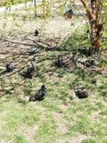 La paloma quiere comer imágenes de archivo libres de regalías