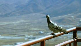 La paloma se está colocando en la verja Fotos de archivo