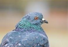 La paloma se está sentando y está mirando adelante Imagen de archivo libre de regalías