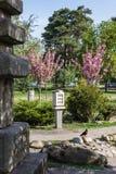 La paloma se sienta en piedra en el fondo del parque y de Sakura Imágenes de archivo libres de regalías