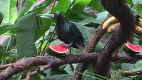 La paloma superada de Nicobar de la paloma Chiang Mai almacen de video