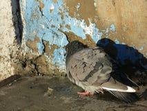 La paloma toma el sol contra la pared de la casa foto de archivo libre de regalías