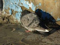La paloma toma el sol contra la pared de la casa foto de archivo
