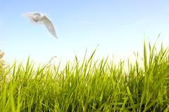 La paloma vuela sobre hierba verde Fotografía de archivo