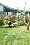 La panda Fotografía de archivo
