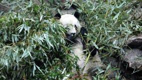 La panda cayó y las mentiras en las hojas Foto de archivo
