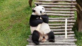 La panda gigante come el tronco de bambú almacen de metraje de vídeo