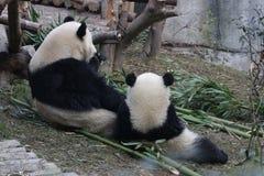 La panda gigante de la madre está comiendo las hojas de bambú con su Cub, Chengdu, China Fotografía de archivo libre de regalías