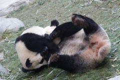 La panda gigante de la madre está jugando luchar con su Cub, Chengdu, China Fotos de archivo libres de regalías