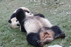 La panda gigante de la madre está jugando luchar con su Cub, Chengdu, China Imagenes de archivo