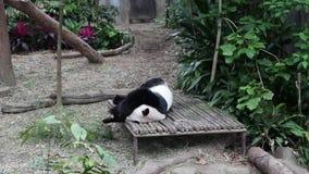 La panda gigante duerme en la pajarera almacen de video