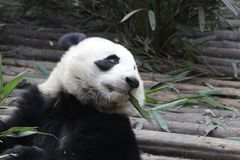 La panda gigante mullida cerrada-para arriba está comiendo las hojas de bambú con su Cub, Chengdu, China Fotografía de archivo libre de regalías