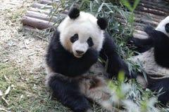 La panda gigante mullida cerrada-para arriba está comiendo las hojas de bambú con su Cub, Chengdu, China Imagen de archivo libre de regalías