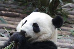 La panda gigante mullida cerrada-para arriba está comiendo las hojas de bambú con su Cub, Chengdu, China Foto de archivo libre de regalías