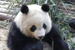 La panda gigante mullida cerrada-para arriba está comiendo las hojas de bambú con su Cub, Chengdu, China Imagenes de archivo