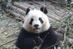 La panda gigante mullida cerrada-para arriba está comiendo las hojas de bambú con su Cub, Chengdu, China Imágenes de archivo libres de regalías