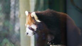 La panda roja, fulgens del Ailurus de los nombres de la ciencia llamó poca panda, oso-gato rojo, en el árbol, primer en HD metrajes