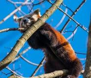La panda roja, fulgens del Ailurus, también llamó la poca panda foto de archivo