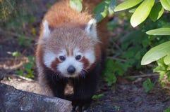 La panda roja mira al fotógrafo Fotos de archivo