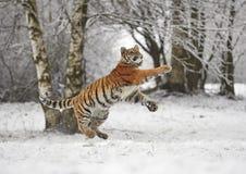 La panthera il Tigri il Tigri della tigre siberiana Fotografia Stock Libera da Diritti