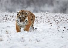 La panthera il Tigri il Tigri della tigre siberiana Immagine Stock Libera da Diritti