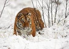 La panthera il Tigri il Tigri della tigre siberiana Immagini Stock Libere da Diritti