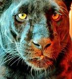 La panthera latina della pantera nera è un animale raro in natura La sua bellezza è oltre dubbio immagini stock libere da diritti