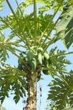 La papaya. Imagen de archivo libre de regalías