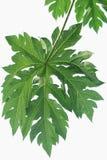 La papaye part du vert de couleur Photographie stock