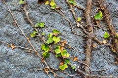 La pared de piedra vieja cubrió la vegetación Fotografía de archivo libre de regalías