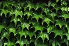 La pared enorme del verde sale de vida inmóvil Foto de archivo libre de regalías