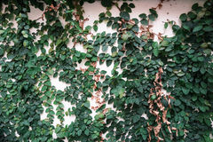 La pared verde Fotografía de archivo libre de regalías