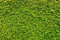 La pared verde del seto de la caja texturizó imagen de archivo libre de regalías