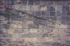 La pared vieja con cubierto con la hiedra verde y anaranjada roja sale de veitchii del tricuspidata del parthenocissus imágenes de archivo libres de regalías