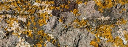 La pared vieja se cubre con el musgo amarilleado seco Bandera del Web fotos de archivo