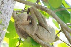La paresse deux-bottée avec la pointe du pied de Hoffmann, Costa Rica Photo libre de droits
